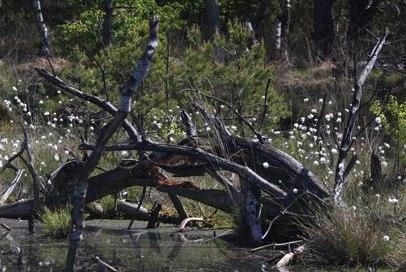 Wollgras zur Blütezeit im Salemer Moor., © Wolfgang Buchhorn