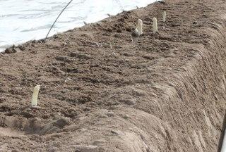 die ersten Stangen Spargel im Frühjahr, © HLMS