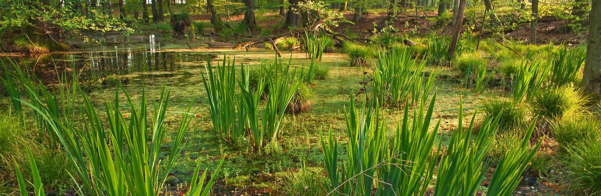 Das Sumpfgebiet Kamerun in der Nähe von Mölln, © Thomas Ebelt / HLMS GmbH