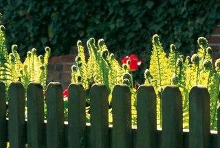 Farn hinterm Gartenzaun, © Sven Mersiowski/ HLMS