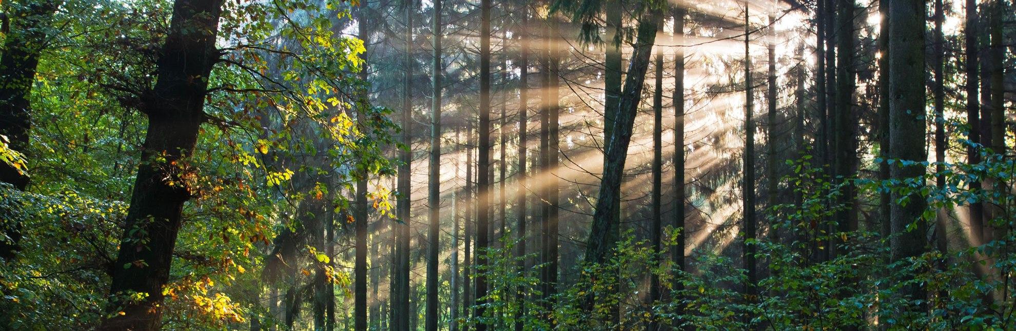 Morgenstimmung im Wald bei Sterley in der Nähe von Mölln., © Thomas Ebelt / HLMS GmbH