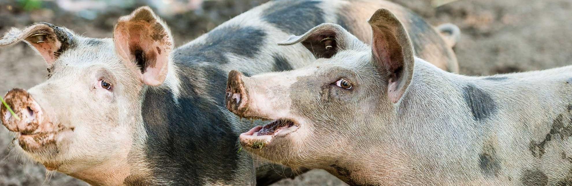 Schweine im Glück, © Nicole Franke/ HLMS