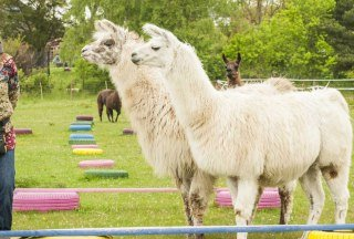 1,50 Meter sind ein Lama, © Nicole Franke