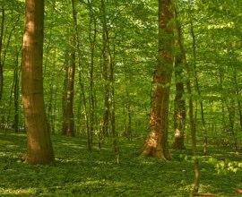 Im Frühjahr leuchtet selbst das Unterholz im Sachsenwald in frischem Grün., © Thomas Ebelt / HLMS GmbH