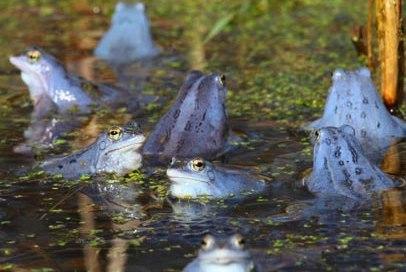 Moorfrösche färben sich zur Paarungszeit blau., © Wolfgang Buchhorn