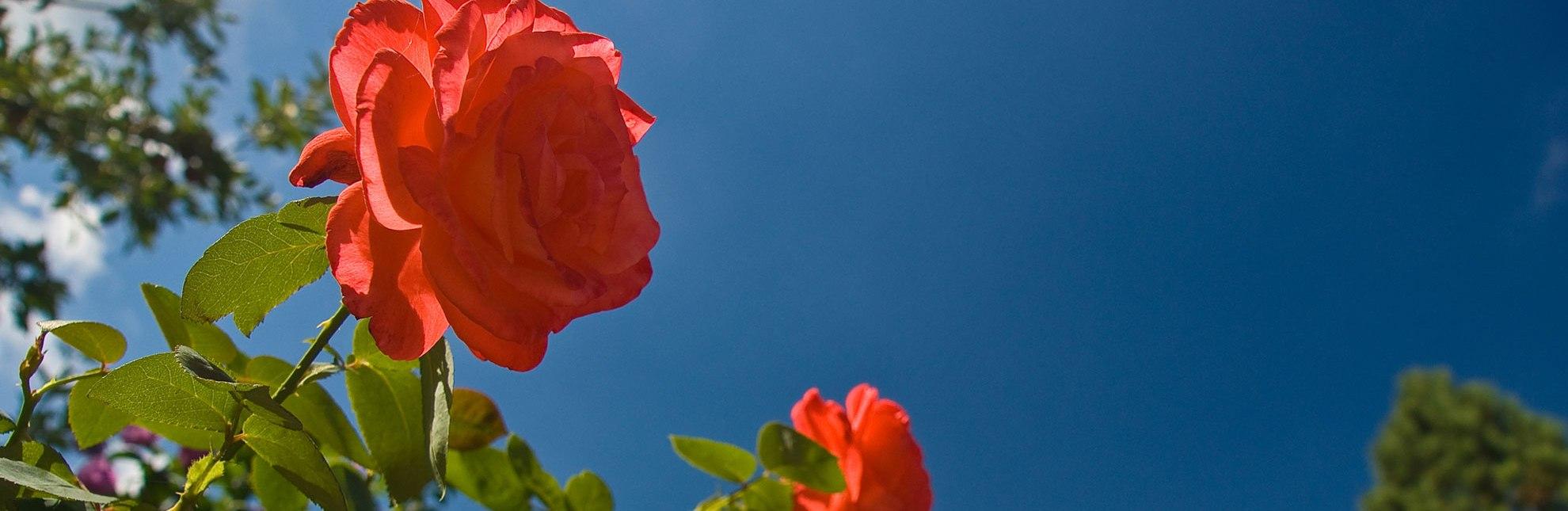 Rote Rosen, © Thomas Ebelt/ Mölln